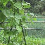 畑で本降りの雨